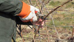 Подготовка винограда к зиме: уход, укрытие, обрезка с фото и видео