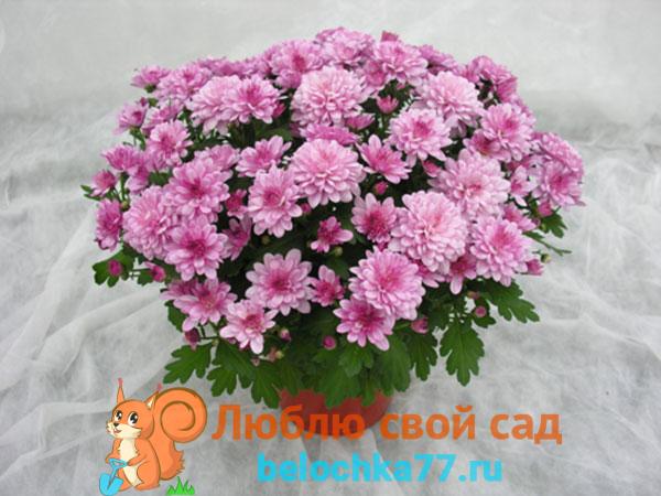 Уход за домашней хризантемой