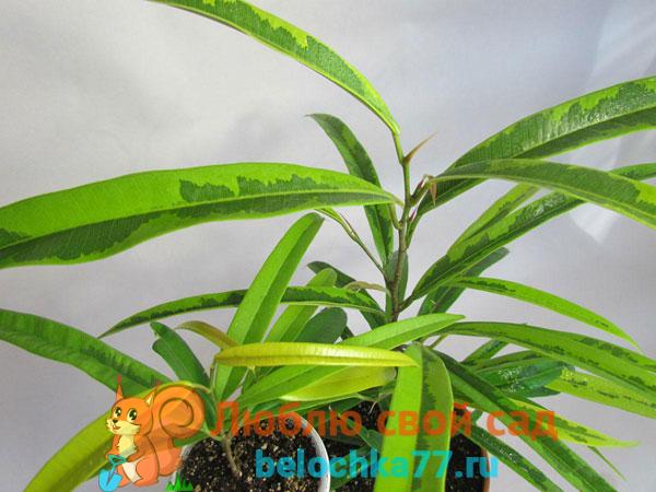 Фикус Биннендика, или Али (Ficus binnendijkii)