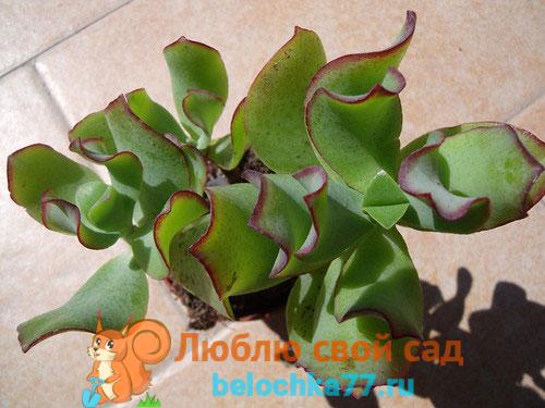 Толстянка Ундулатифолия (C. arborescens undulatifolia)