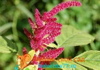 Удобрение чеснока, выращивание, подкормка весной и 85
