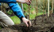 Как пересадить малину осенью на новое место. Сроки, подготовка, уход