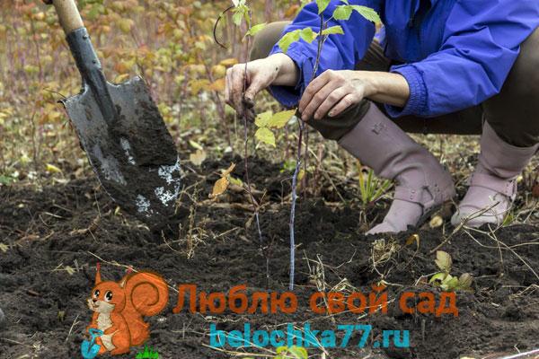 Когда лучше пересаживать малину – весной или осенью