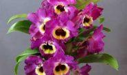 Орхидея Дендробиум: уход в домашних условиях. Виды Дендробиума с фото