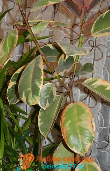 Сохнут листья по краям