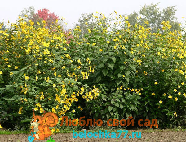 Описание растения с фото