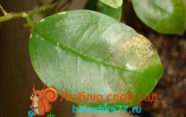 На листьях коричневые пятна