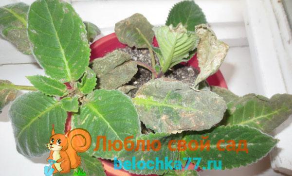 Болезни и вредители глоксинии