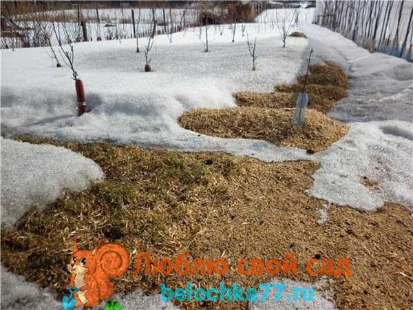 Как зимует многолетний горошек