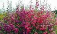 Кларкия изящная – выращивание из семян. Виды и сорта с фото