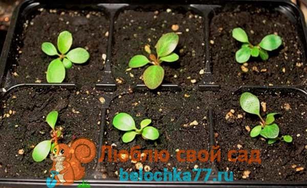 Высев семян бадана