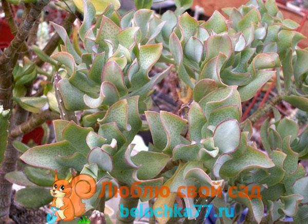 Кучерявая (C. Arborescens curviflora)