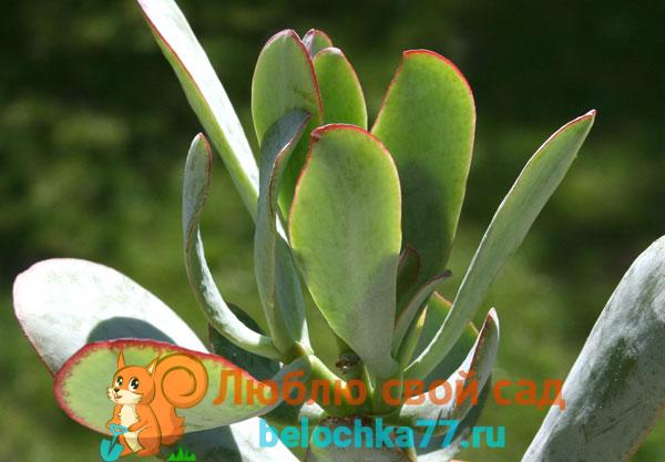 Древовидные толстянки (C. Arborescens)