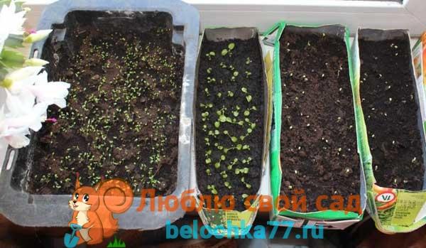 Выращивание кларкии