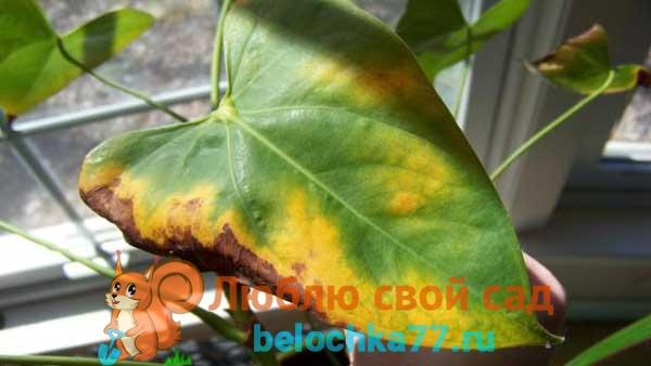 Почему желтеют листья, что делать?