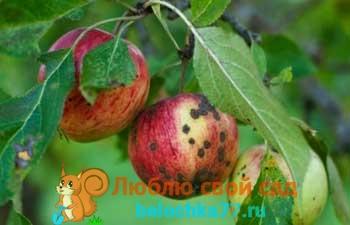 Парша: как уберечь яблоню от заболевания. Как распознать паршу