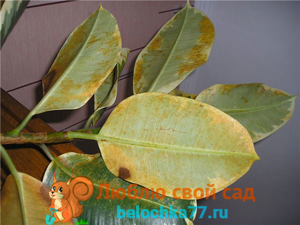 Почему у фикуса желтеют и опадают листья, причины