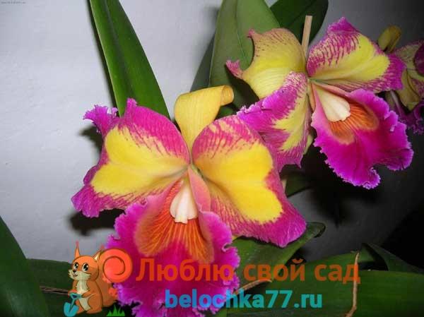 Вид орхидеи Каттлея
