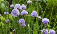 Шнитт-лук - выращивание и уход. Разновидности и сорта шнитт-лука