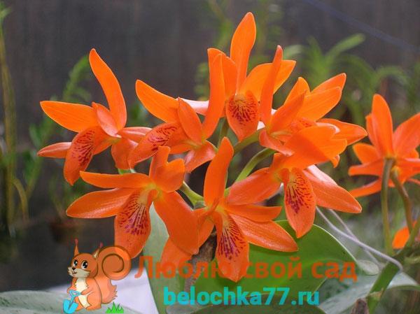 Каттлея оранжево-красная