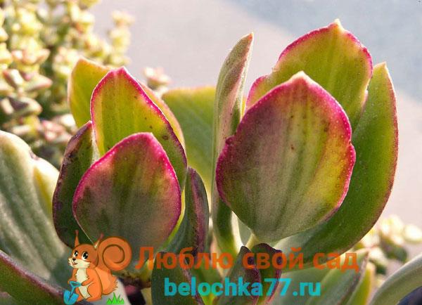 Триколор (C. Ovata var. Oblique cv. Tricolor)