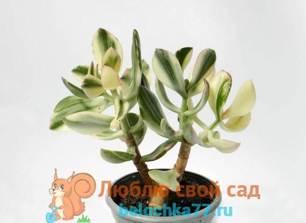 Солана (C. ovata var. Oblique cv. Solana)