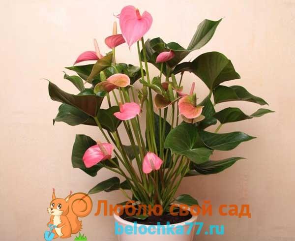 Сорта Антуриума розового