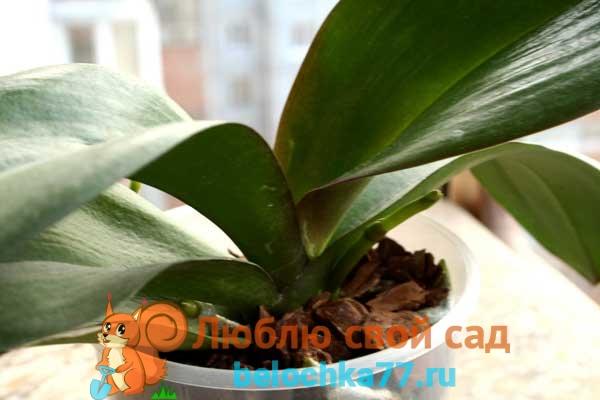 Причины: почему орхидея не цветет, а растут только листья