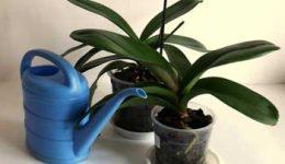 Как поливать орхидею в домашних условиях правильно. Способы полива