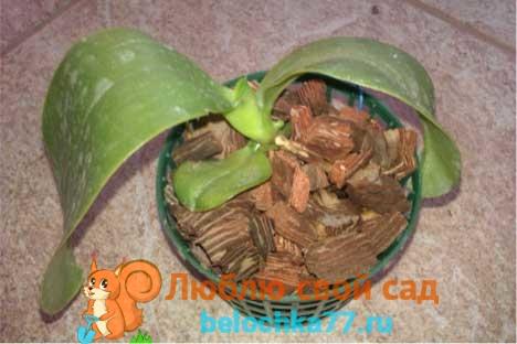 Почему орхидея не цветет и не растет?