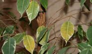 У фикуса Бенджамина желтеют и опадают листья, что делать?
