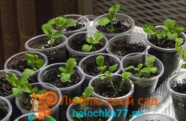 О выращивании немезии из семян в домашних условиях