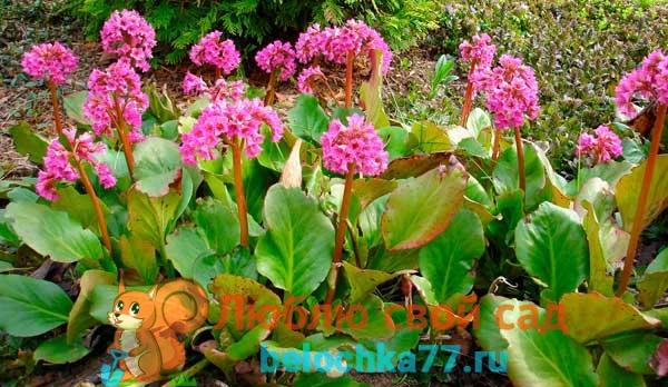 Виды и сорта бадана с фото