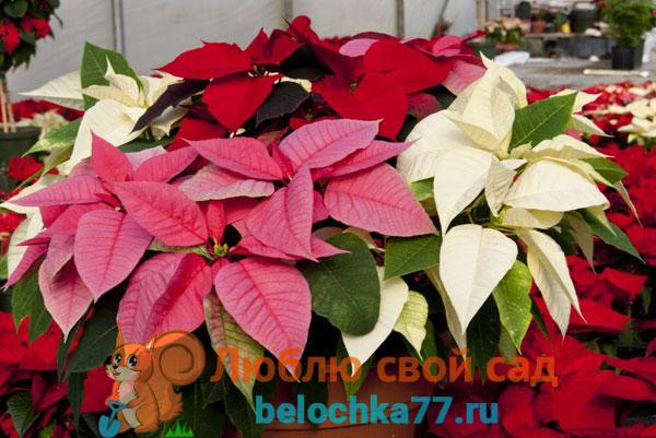 Описание рождественского цветка с фото