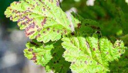 Болезни и вредители малины и борьба с ними. Профилактика