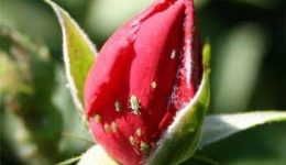 Как избавиться от тли на розах. Описание тли. Профилактика