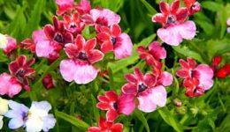 Немезия: выращивание из семян, когда сажать. Виды и сорта с фото