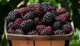 Ежемалина – выращивание и уход за урожайным гибридом. Сорта с фото