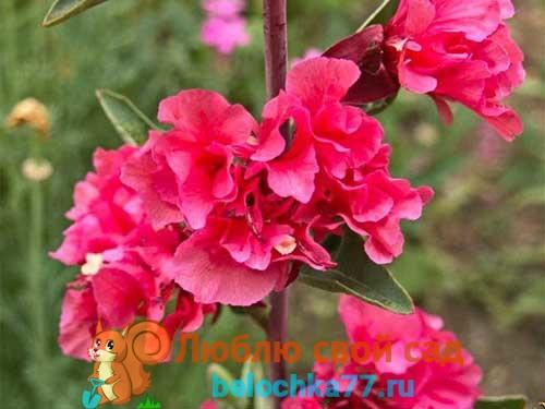 Кларкия «Рубиновая»