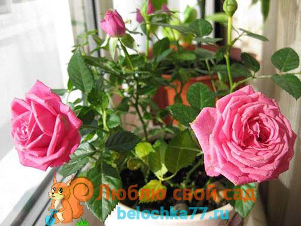 Прививаем домашнюю розу