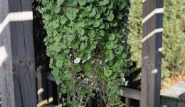 """Дихондра """"изумрудный водопад"""" - выращивание из семян. Уход"""