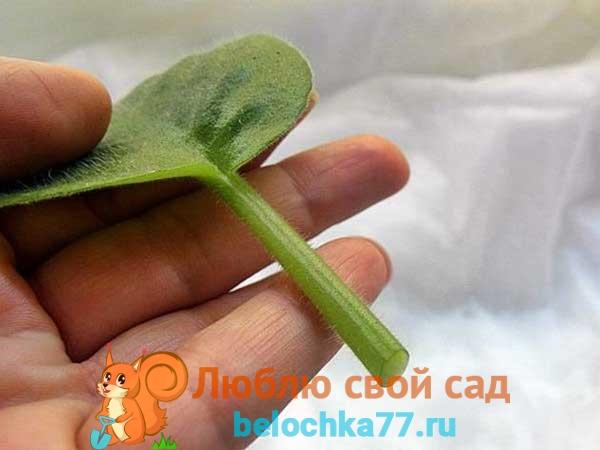Размножение фиалки листом правильно (пошагово)