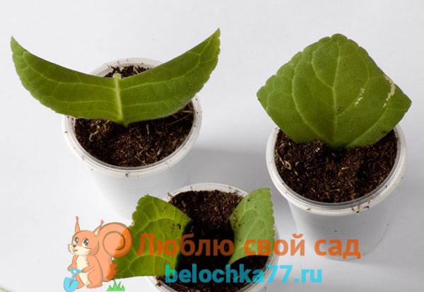 Размножение глоксинии листовыми черенками