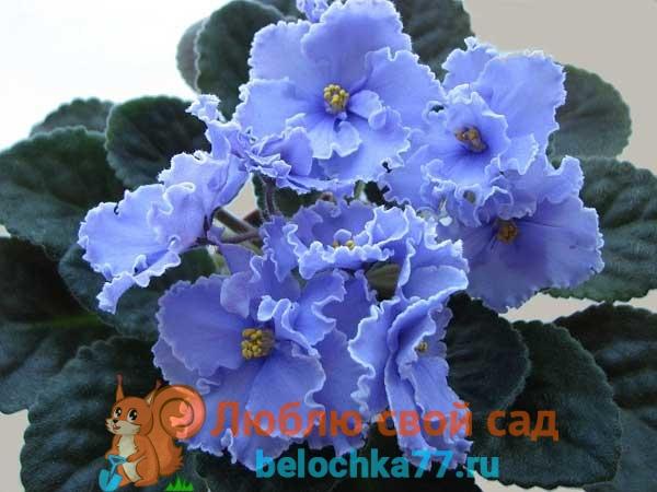 Условия для цветения фиалок