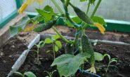 Формирование огурцов в теплице для повышения урожая. Зачем формируют огурцы