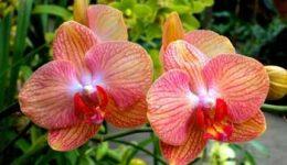 Орхидея Фаленопсис – уход в домашних условиях. Описание и виды с фото