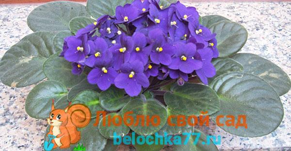 Фиалка цветет, приметы