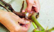 Как привить розу на шиповник правильно. Пошаговый процесс с фото