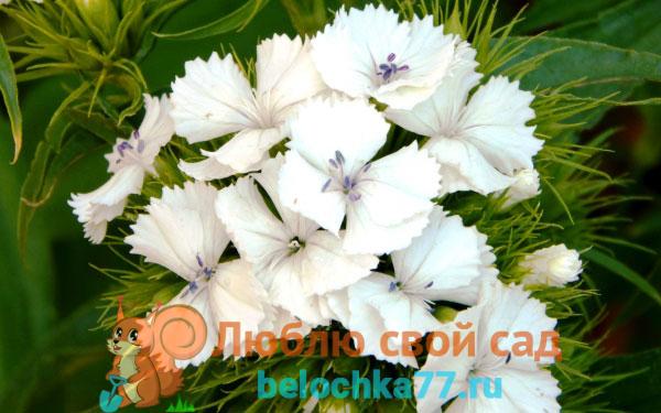 Белая гвоздика