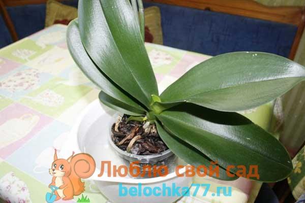 Способы полива орхидеи в домашних условиях
